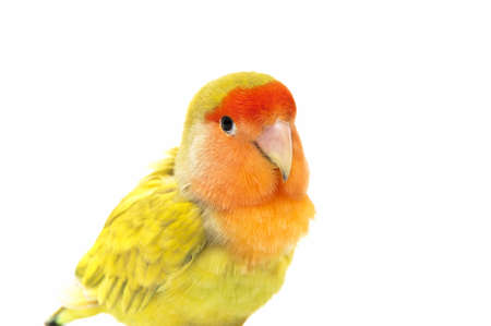 Lovebird colors on a white background photo