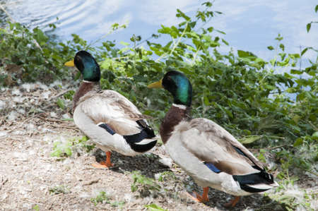 Green Collar ducks sunning photo