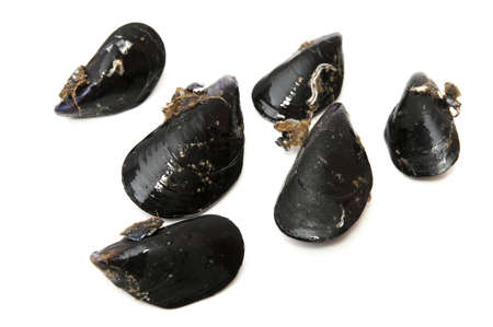 black mussels on a white background photo