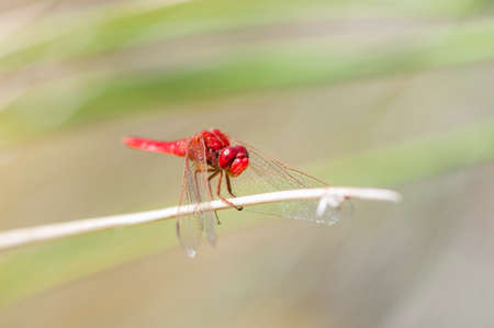 arthropod: Color red dragonfly perched on a branch
