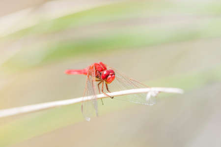 Color red dragonfly perched on a branch photo