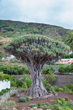 millennial: called Millennial Drago tree located on the island of Tenerife