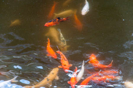 in a Japanese koi pond where they were made to eat photo