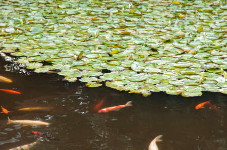 in a Japanese koi pond where they were made ​​to eat photo