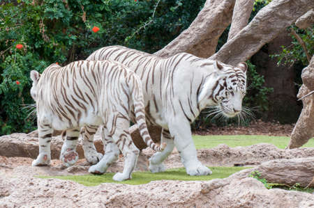 white tiger walking through the jungle photo