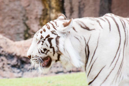 white tiger walking through the jungle photo