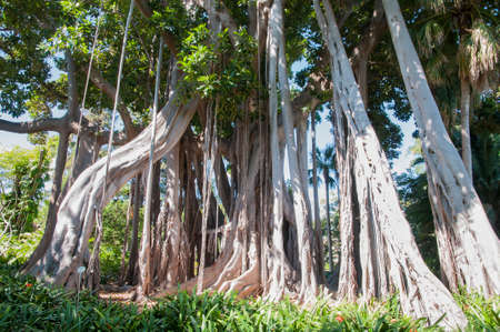 millennial: tall trees with big roots in the jungle