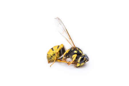 wasp yellow and black color on a white background photo
