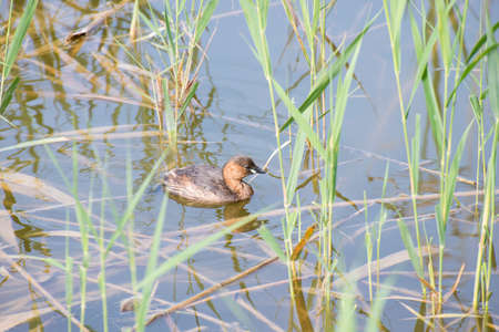 Little Grebe, tachibaptus ruficollis swimming Delta wetlands Llobregat photo