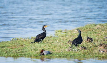 Cormorant, Phalacrocarax resting by the Llobregat delta wetlands
