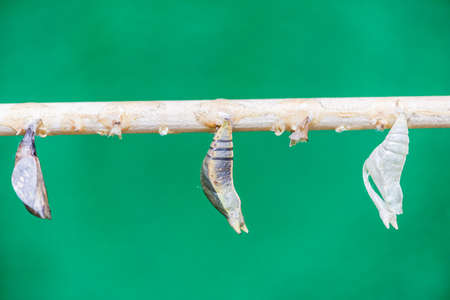 pupae attached to a branch on a green background photo