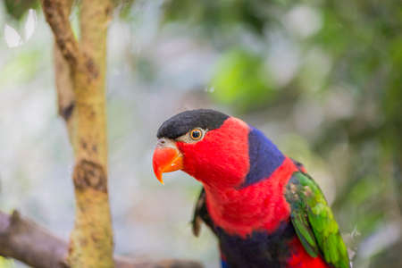 eclectus roratus: tricolor parrot, Lorius lory perched on a stick Stock Photo