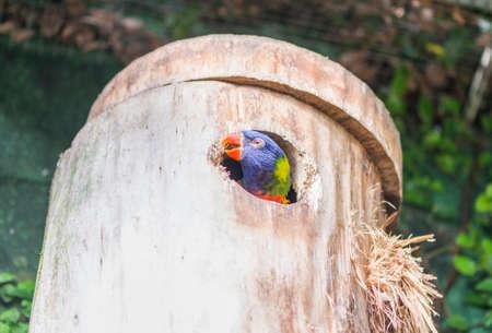 eclectus roratus: parrot rainbow, trichoglossus haematodus tucked into the nest