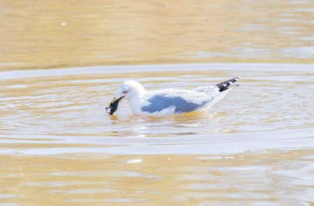 larus: larus argentatus, herring gull crab fishing