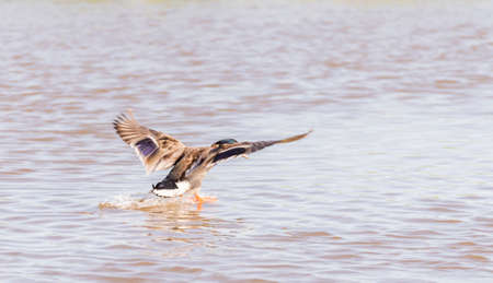 anas platyrhynchos: anas platyrhynchos,swimming in the lake looking for food Stock Photo