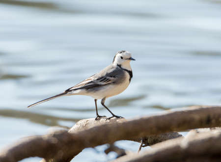 white wagtail: White Wagtail, Motacilla alba foraging on the ground