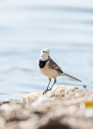 White Wagtail, Motacilla alba foraging on the ground photo