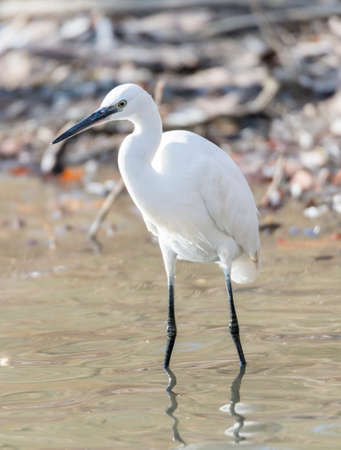 Common Egret, Egretta garzetta looking for food like fish photo