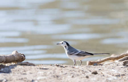 motacilla: White Wagtail, Motacilla alba foraging on the ground