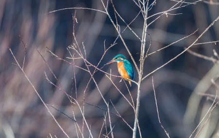 Alcedo atthis, kingfisher, hanging from a tree branch photo