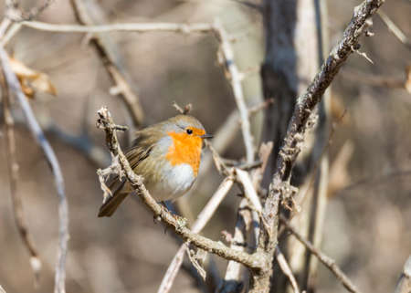 erithacus rubecula, robin perched on a branch photo