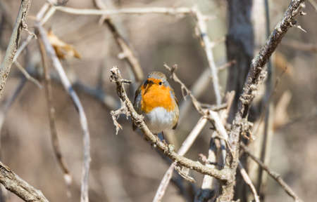 rubecula: erithacus rubecula, robin perched on a branch Stock Photo