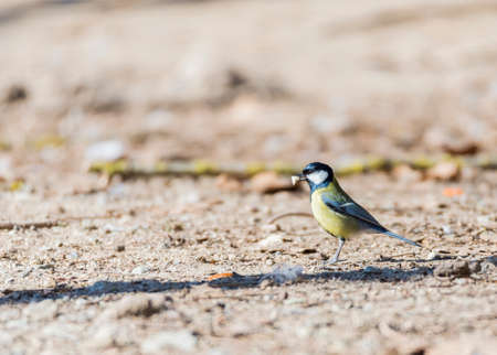 major: Parus major,saithe common  hanging from a tree branch Stock Photo