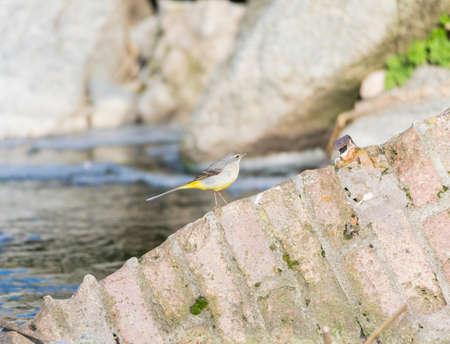 motacilla: Motacilla cinerea, Gris Lavandera en busca de comida