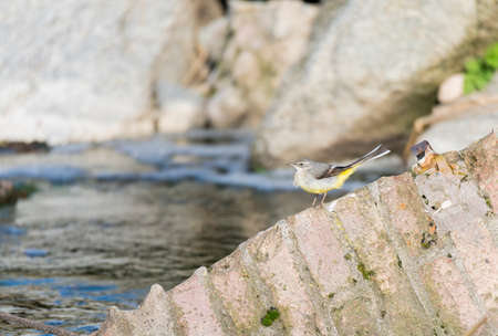 motacilla: Motacilla cinerea, Grey wagtail looking for food Stock Photo