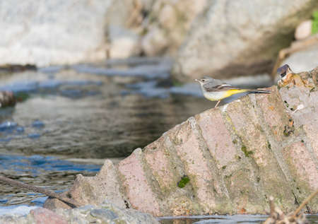 cinerea: Motacilla cinerea, Grey wagtail looking for food Stock Photo