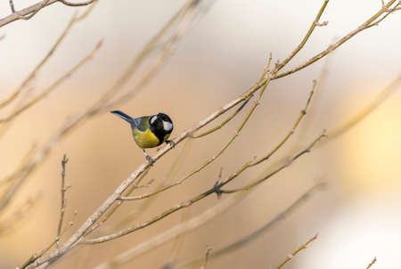 Parus major,saithe common  hanging from a tree branch photo