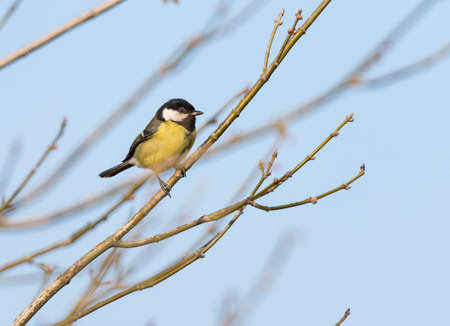 parus major: Parus major,saithe common  hanging from a tree branch Stock Photo