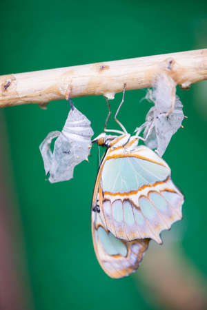 chrysalis: birth of a butterfly emerging from a chrysalis