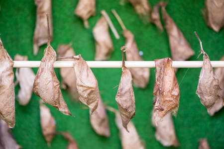 pupae: pupae attached to a branch on a green background Stock Photo