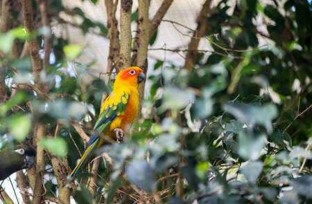 eclectus roratus: aratinga solstitialis parrot hanging from a branch Stock Photo