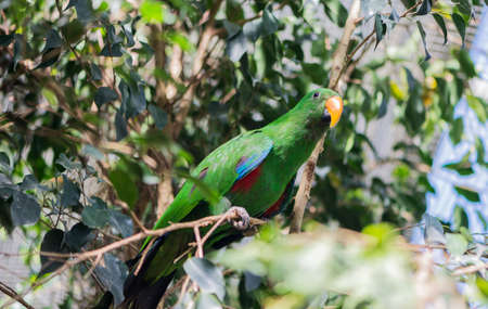 eclectus roratus: chlorocercus lorius parrot hanging from a branch Stock Photo
