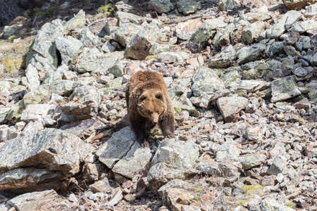 omnivore: brown bear searching for food in the bush