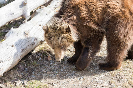 omnivore animal: brown bear searching for food in the bush
