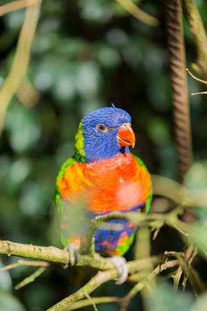 parrot rainbow, trichoglossus haematodus hanging on a stick