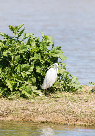 ardea: Great White Egret, Ardea alba looking for food Stock Photo