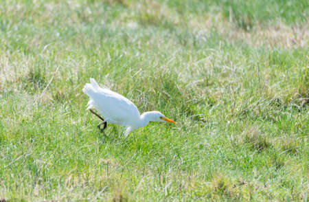 Great White Egret, Ardea alba looking for food Stock Photo