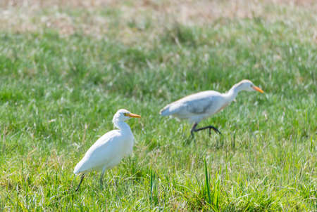 egrets: Great White Egret, Ardea alba looking for food Stock Photo