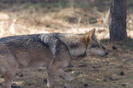 canid: wolf walking down the mountain in search of prey