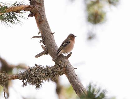 chaffinch: fringilla coelebs, chaffinch perched on a branch