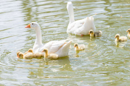 Common ansar, Anser anser, swimming with their young offspring