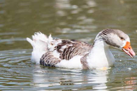 anser: Common ansar, Anser anser swimming lake Stock Photo