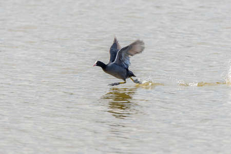 coot: Common Coot swimming in the lake Llobregat Stock Photo