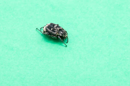 bedbug: black bedbug on a green background
