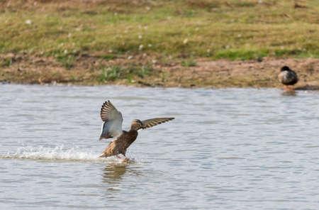 platyrhynchos: mallard, ana platyrhynchos flying across the lake