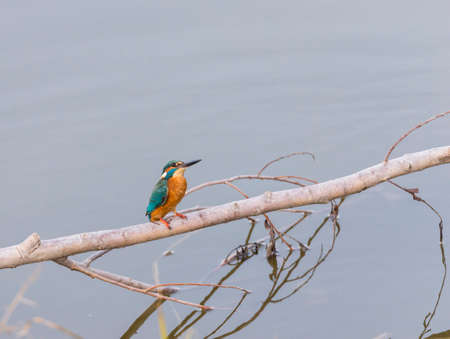 alcedo atthis: Alcedo atthis, kingfisher, hanging from a tree branch Stock Photo
